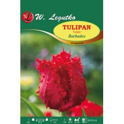 Tulipan Barbados, strzępiasty - 30szt.