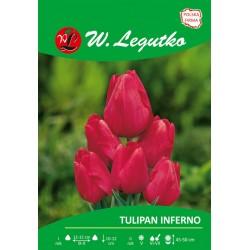 Tulipan Inferno, wielokwiatowy - 30szt.