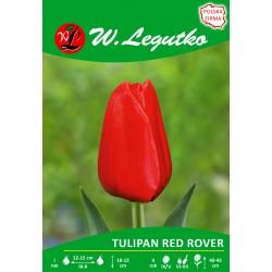 Tulipan Red Rover, Triumph - 30szt.