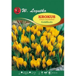 Krokus Goldilocks, Chrysanthus - 80szt.